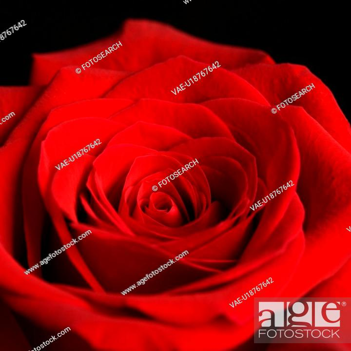Stock Photo: Close-up of red rose against black background.