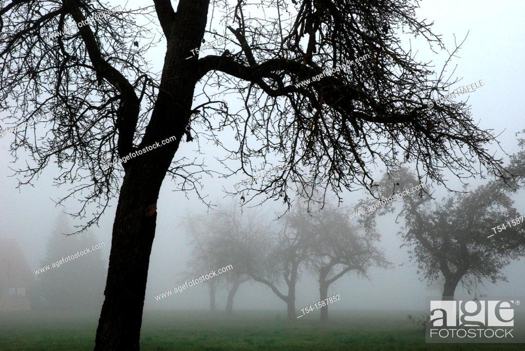 Stock Photo: Dense fog between autumn fruit trees in Bavaria.