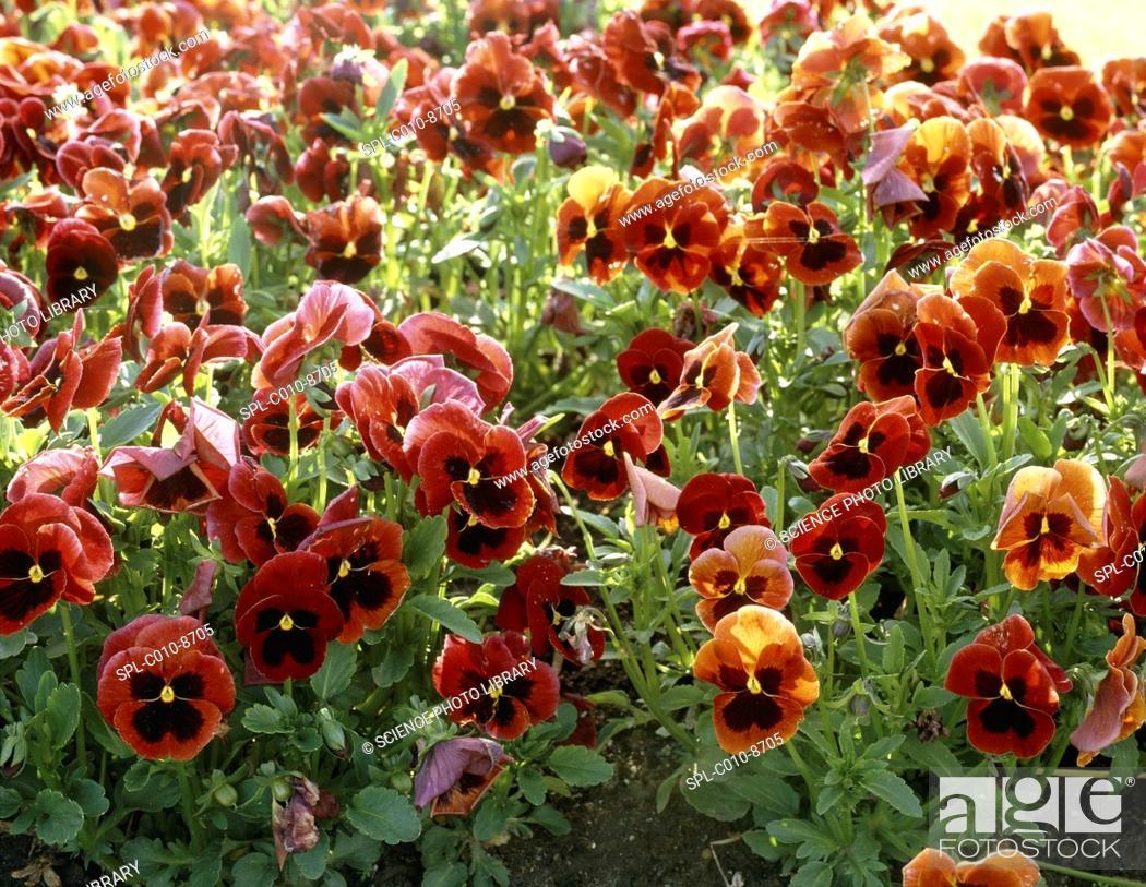 Stock Photo: Pansies Viola sp..