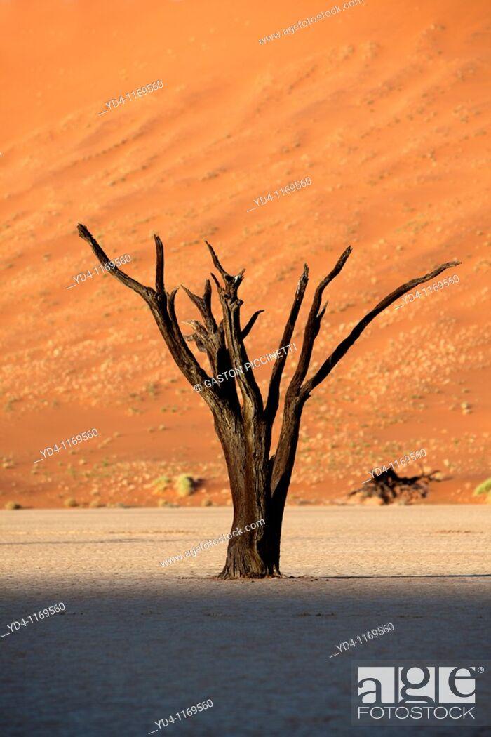 Stock Photo: Camelthorn dead tree Acacia erioloba, in Ses Riem, Namib-Naukluft National Park, Namib desert, Namibia.