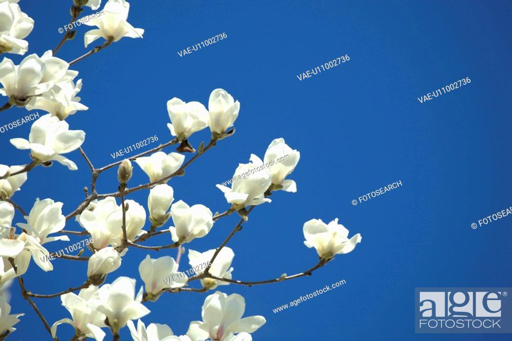 Stock Photo: White magnolia.