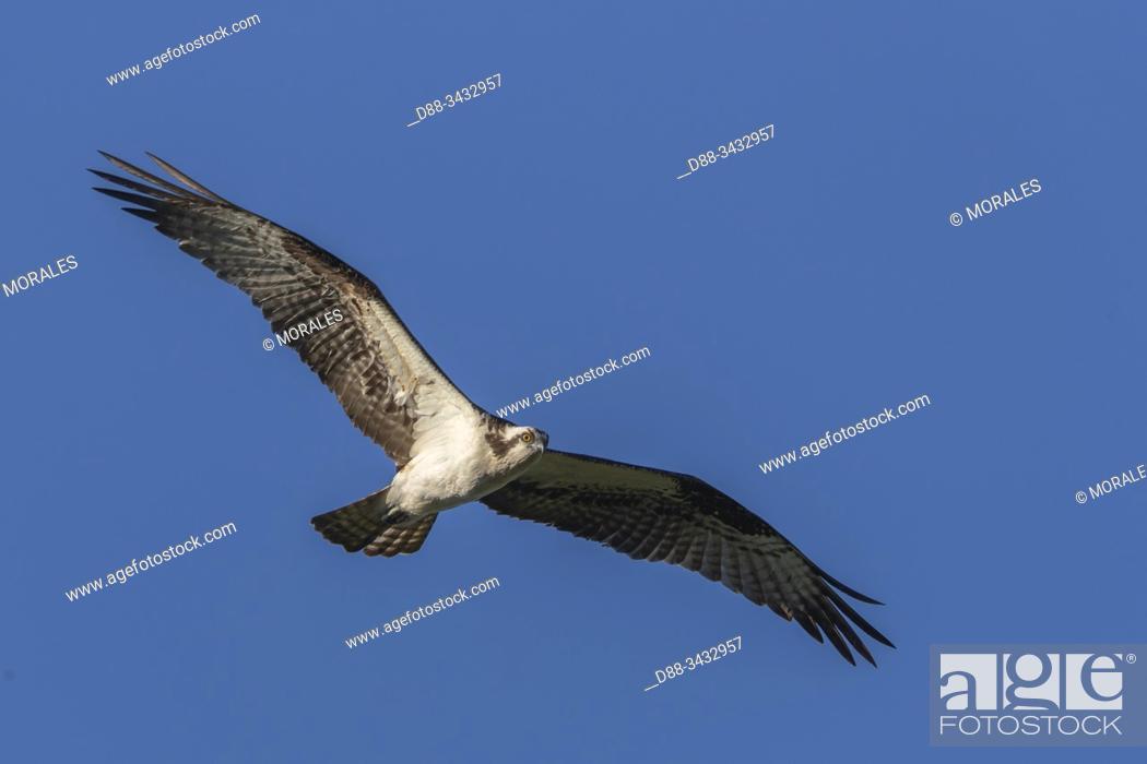 Stock Photo: United States, Michigan, osprey or western osprey (Pandion haliaetus), in flight.