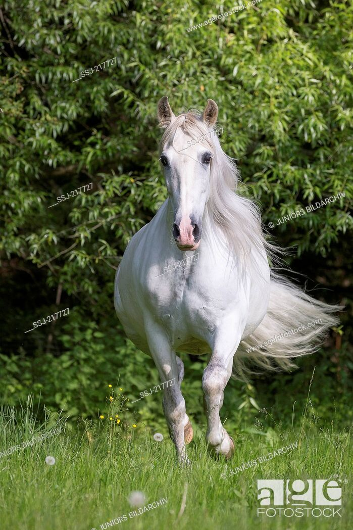 Stock Photo: Pure Spanish Horse, Andalusian. Gray stallion galloping on a pasture. Germany.