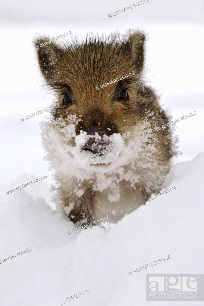 Stock Photo: Wild Boar Piglets. Sus scrofa. Schleswig-Holstein, Germany.