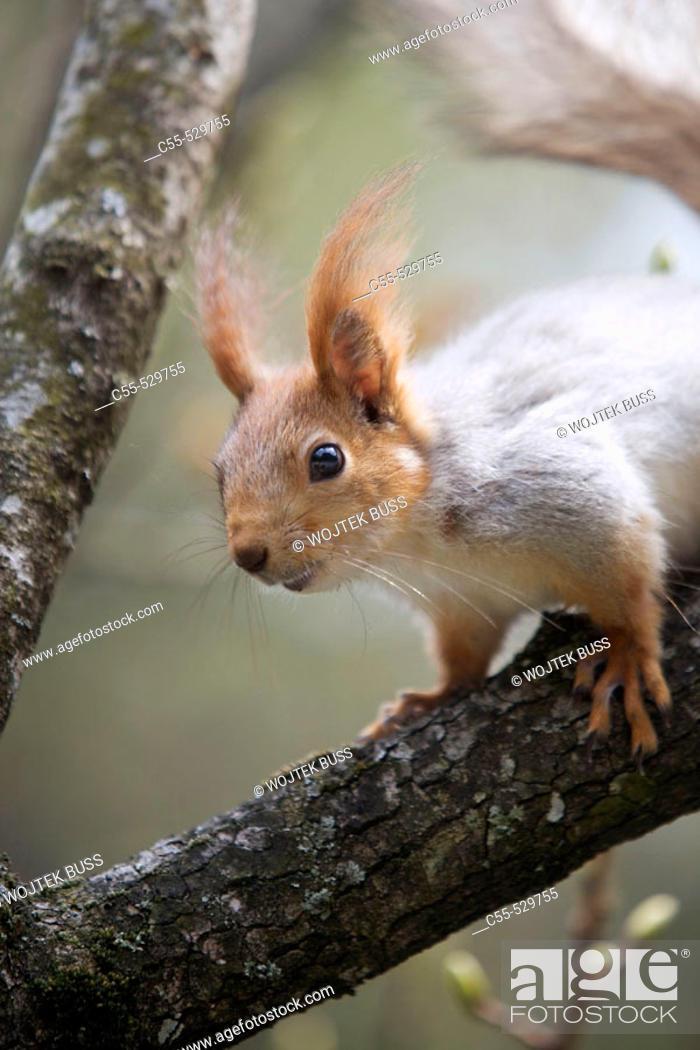 Stock Photo: Squirrel in the gardens of Vorontsov palace, Alupka. Crimea, Ukraine.