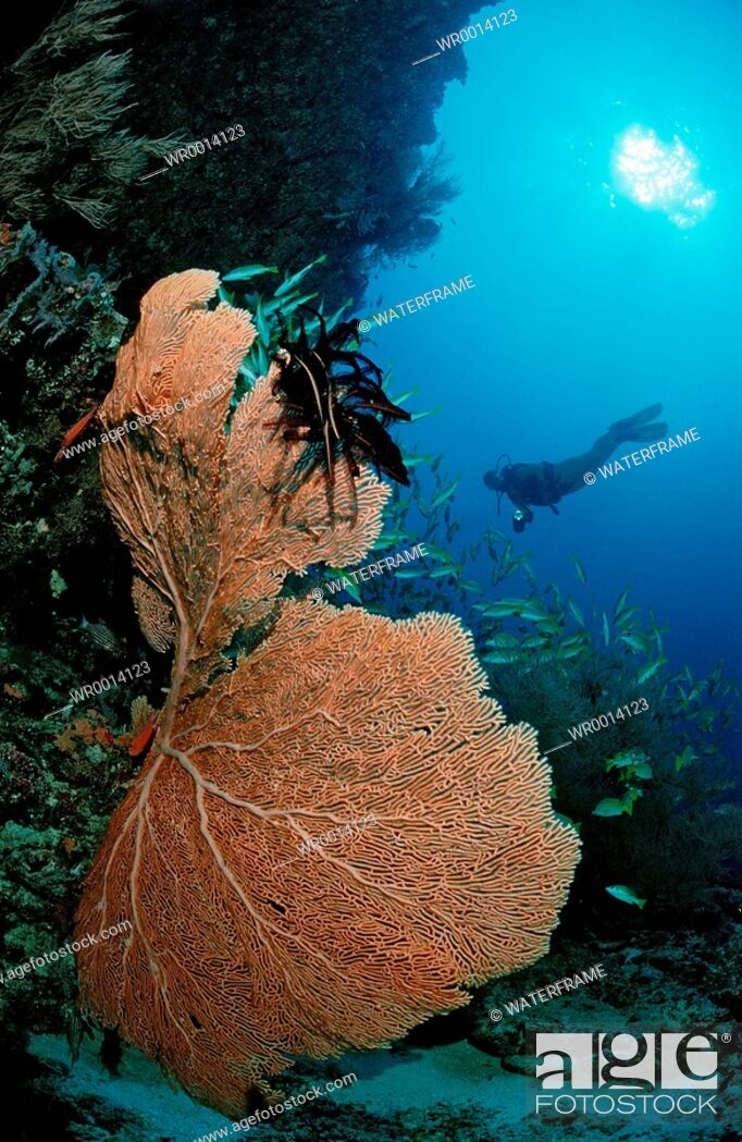 Imagen: Coral Reef and Diver, Indian Ocean, Maldives Island.