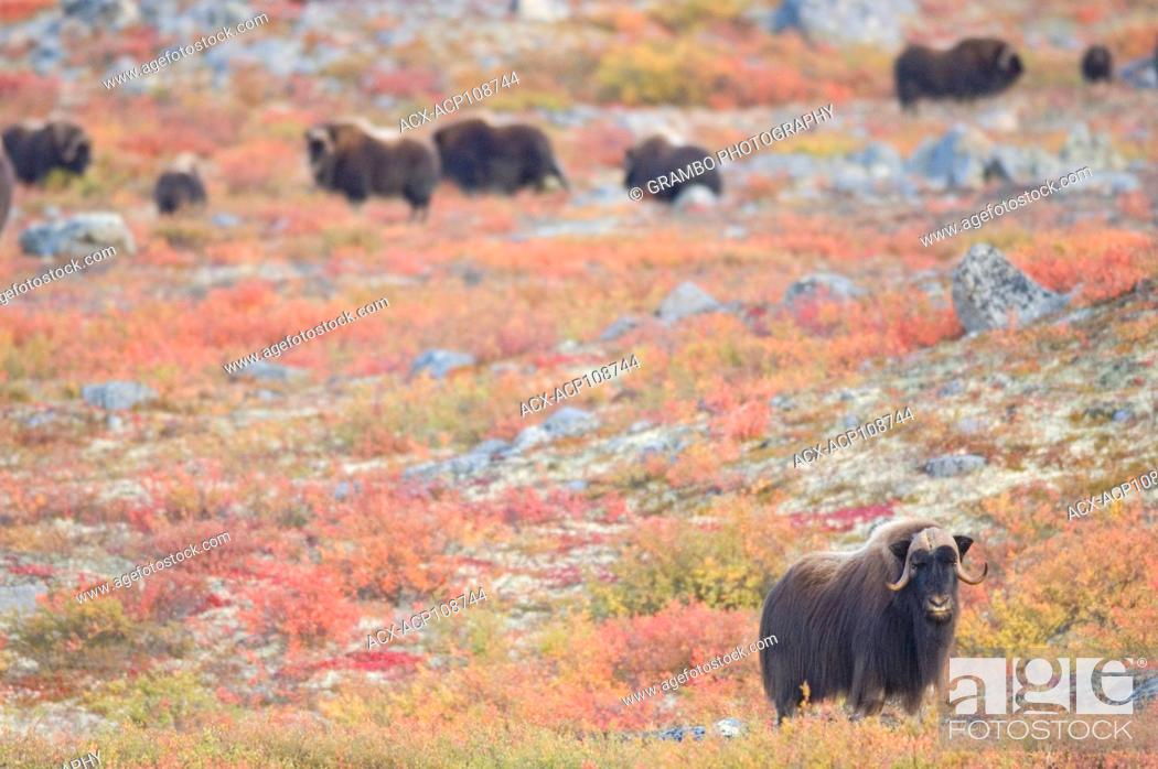 Stock Photo: Muskox herd, Ovibos moschatus, Near Whitefish Lake, Northwest Territories, Canada.