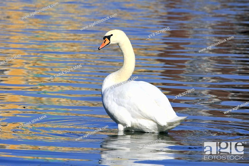 Stock Photo: Mute Swan, Cygnus olor near seashore with colorful reflections on the surface of water.