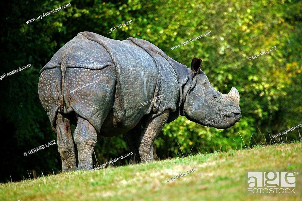 Stock Photo: INDIAN RHINOCEROS rhinoceros unicornis.