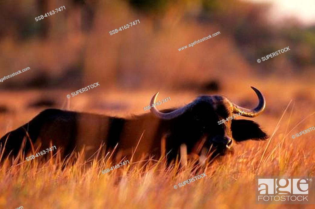 Stock Photo: BOTSWANA, OKAVANGO DELTA, CAPE BUFFALO IN HIGH GRASS, EVENING SUNSHINE.