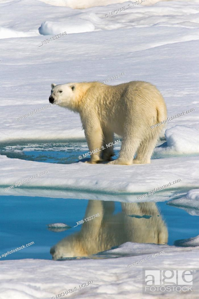Stock Photo: Adult polar bear Ursus maritimus reflected in melt water pool on multi-year ice floes in the Barents Sea off the eastern coast of Edge¯ya Edge Island in the.