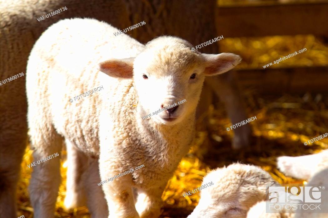 Stock Photo: mammal, sheep, barn, dried grass, hay, domestic animal, animal.