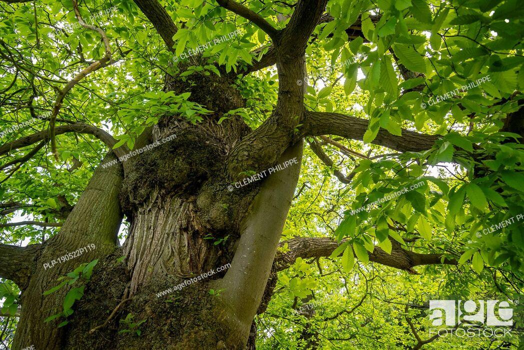 Imagen: Sweet chestnut (Castanea sativa) close-up of tree trunk and foliage.