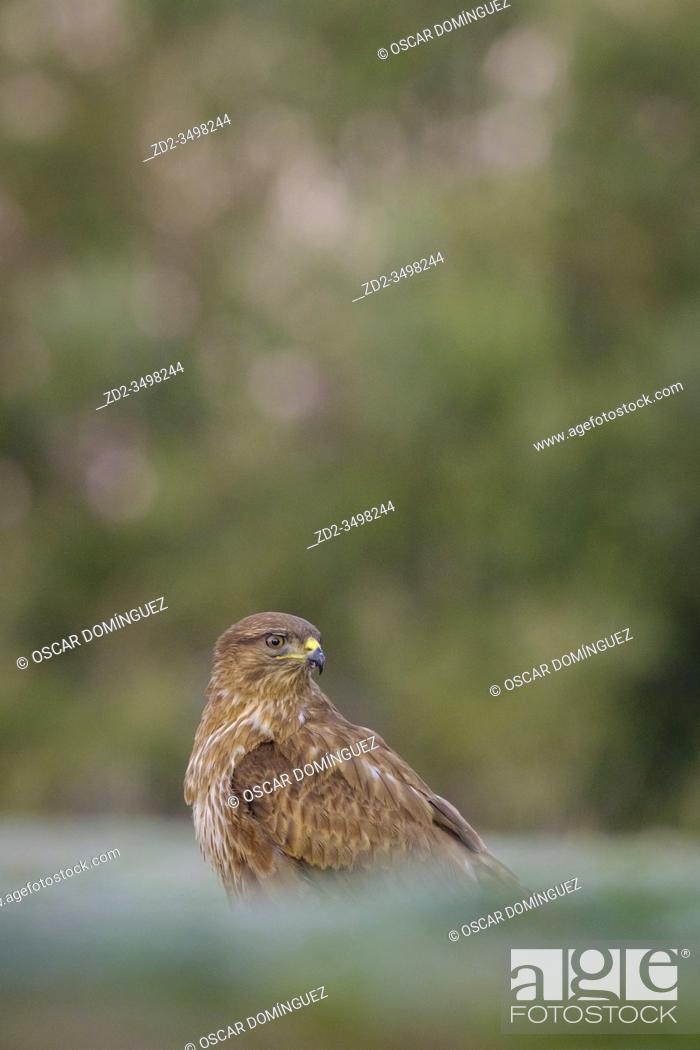 Imagen: Eurasian Buzzard (Buteo buteo) perched on ground. Lleida province. Catalonia. Spain.