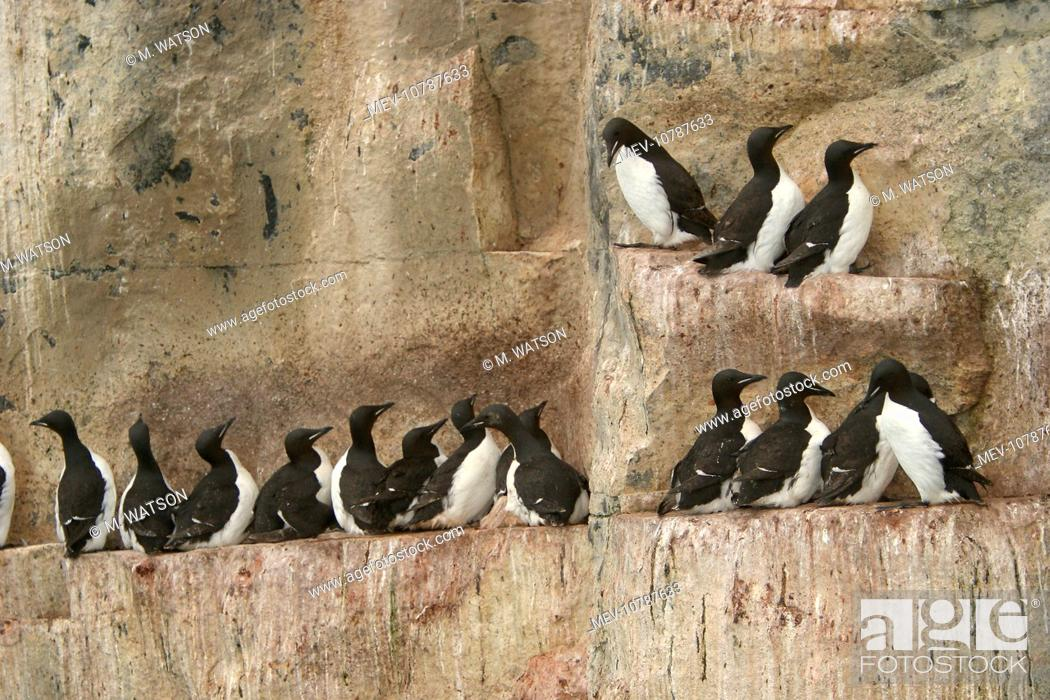Stock Photo: Brunnich's Guillemot / Thick-billed Murre - colony roosting on cliff ledge (Uria lomvia).