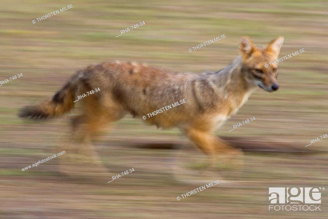Stock Photo: Indian Jackal, Canis aureus, Bandhavgarh N.P., Madhya Pradesh, India.