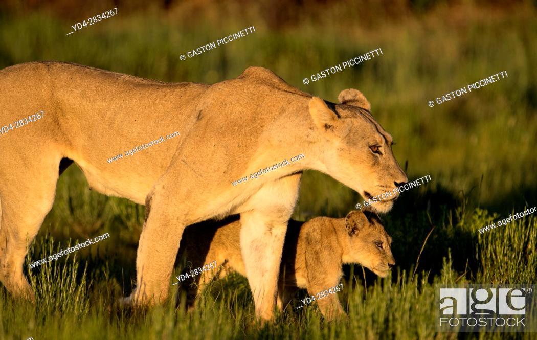 Stock Photo: African lion (Panthera leo) - Female and cub, in the bush, Kgalagadi Transfrontier Park, Kalahari desert, South Africa/Botswana.