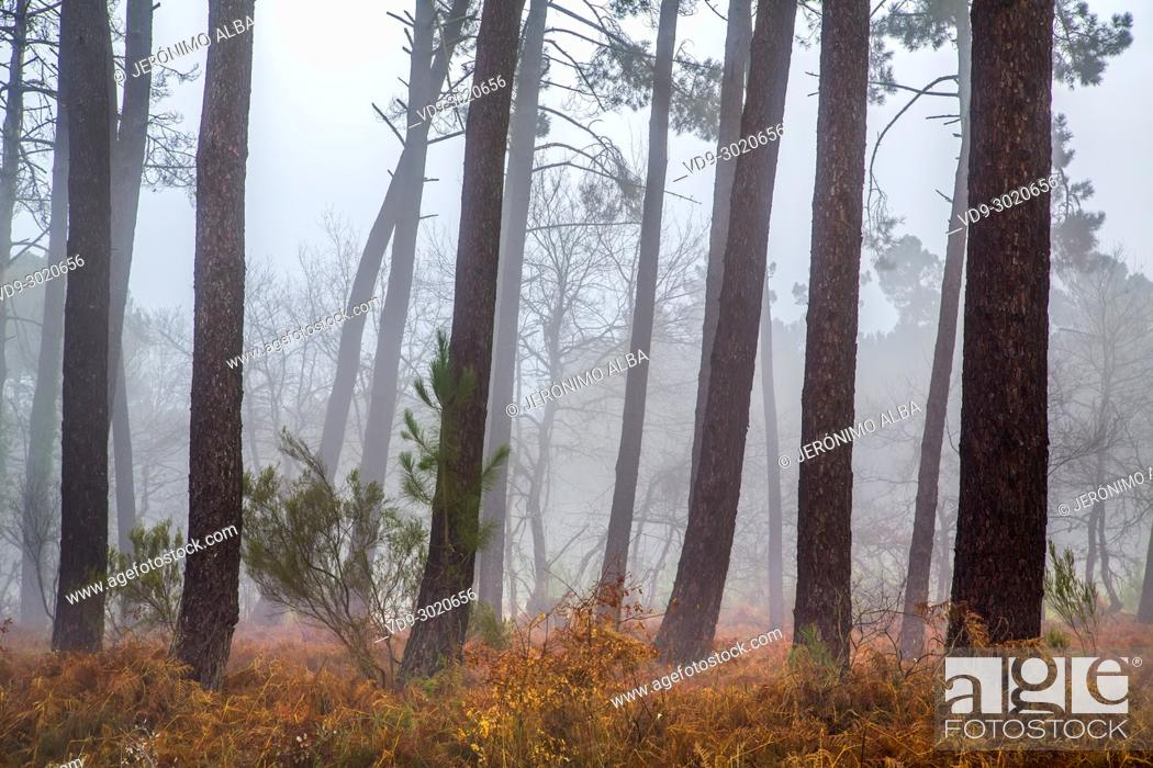 Stock Photo: Pine wood forest. Le Gers Department, New Aquitaine, Midi Pyerenees. France Europe.