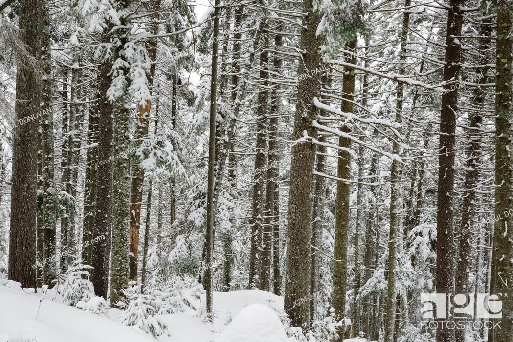 Stock Photo: Softwood forest on the northern slopes of Mount Jim in Kinsman Notch of Woodstock, New Hampshire USA during the winter months.