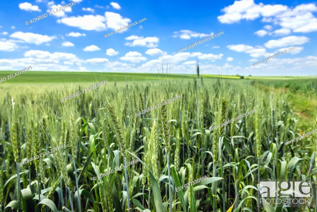 Stock Photo: Large area of green fields in Ukraine.