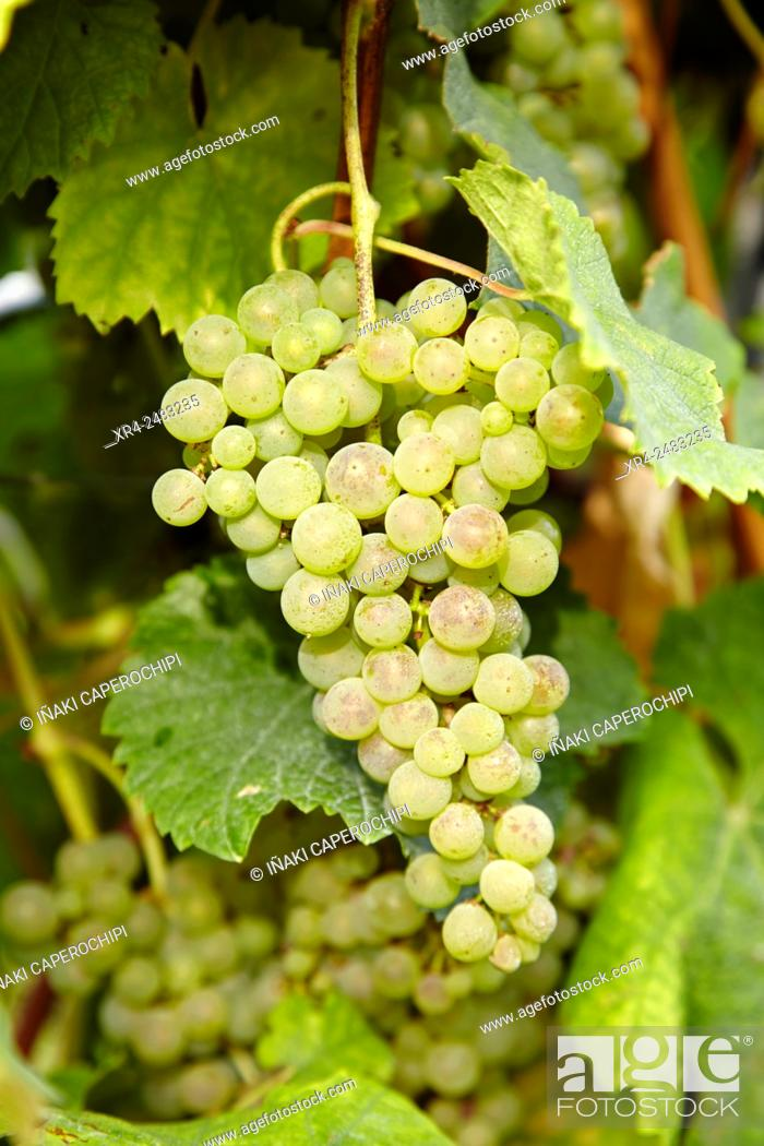 Stock Photo: Spain, Guipuzcoa, Getaria, Bunch of grapes for txacoli wine production.