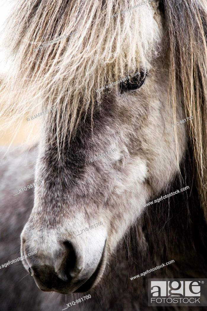 Stock Photo: Icelandic horse  South Iceland.