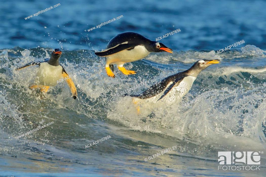 Stock Photo: Gentoo Penguin (Pygoscelis papua) returning to land through the waves in the Falkland Islands.