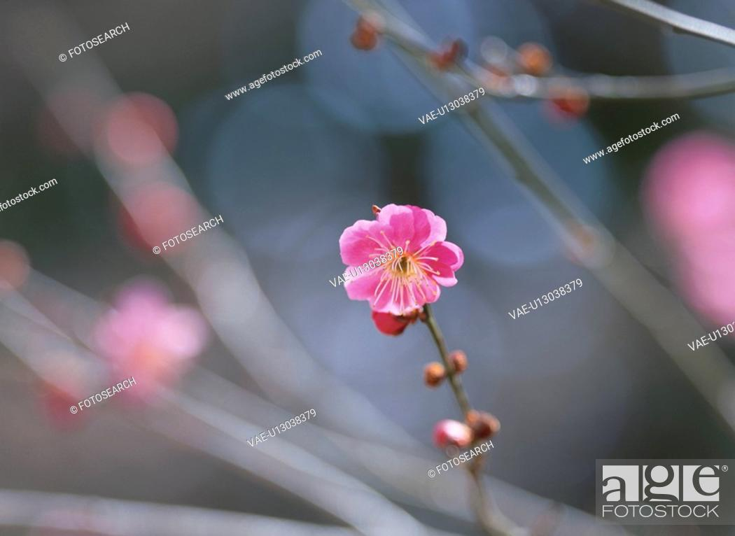 Stock Photo: The Flower Of Plum.