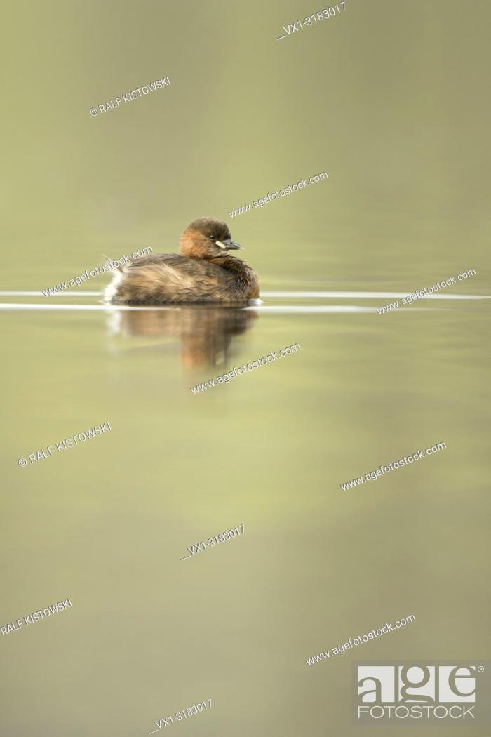 Stock Photo: Relaxed Little Grebe ( Tachybaptus ruficollis ) swimming on calm, nice colored water. .