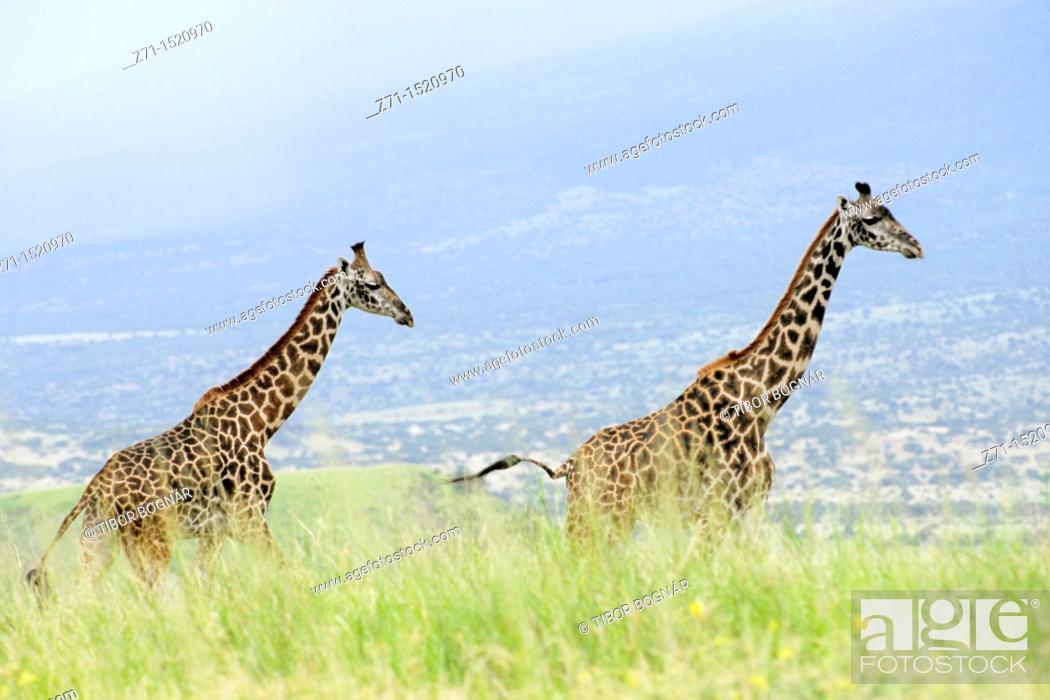 Stock Photo: Giraffe (Giraffa camelopardalis), Rift Valley, Tanzania.