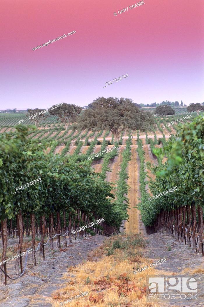 Stock Photo: Evening light over vineyards at Villa Toscana, Paso Robles, San Luis Obispo County, California.
