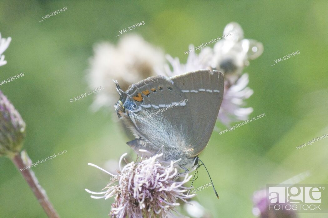 Stock Photo: Blue Spot Hairstreak, Satyrium spini. Modest brown Hairsterak butterfly with a white horizontal stripe, orange lunettes and noticeable blue spot on hind wing.