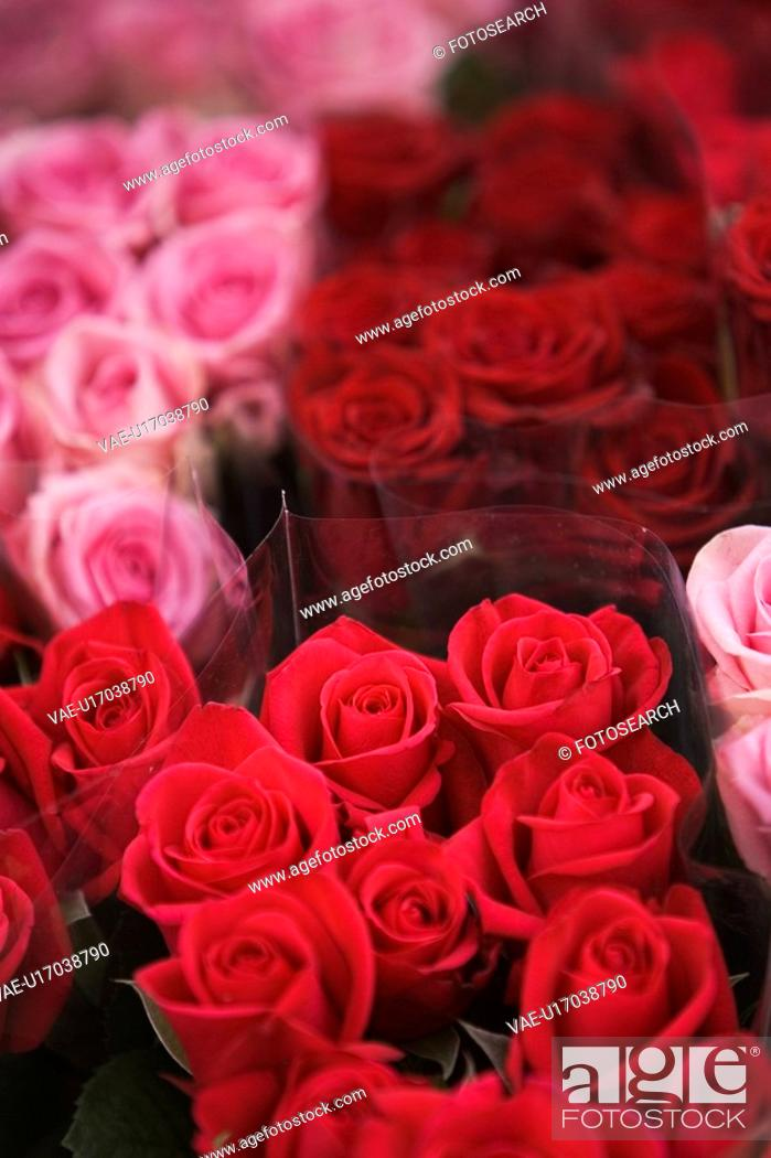 Stock Photo: Roses, Red.