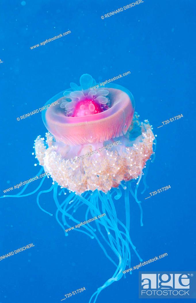 Stock Photo: Crown jellyfish, Netrostoma setouchina. Red Sea, Hurghada. Egypt.