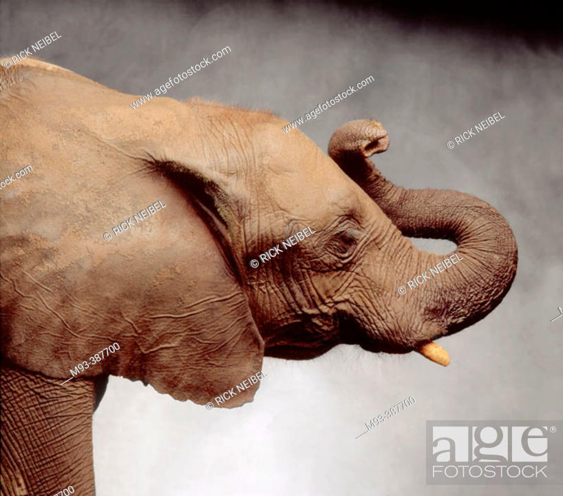 Stock Photo: Profile view of elephant head (US Republican party symbol) in studio against gray painted canvas background.
