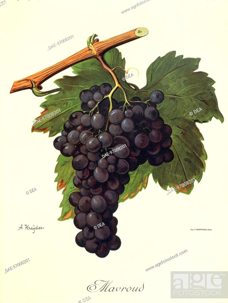 Stock Photo: Pierre Viala (1859-1936), Victor Vermorel (1848-1927), Traite General de Viticulture. Ampelographie, 1901-1910. Tome VI, plate: Mavroud grape.