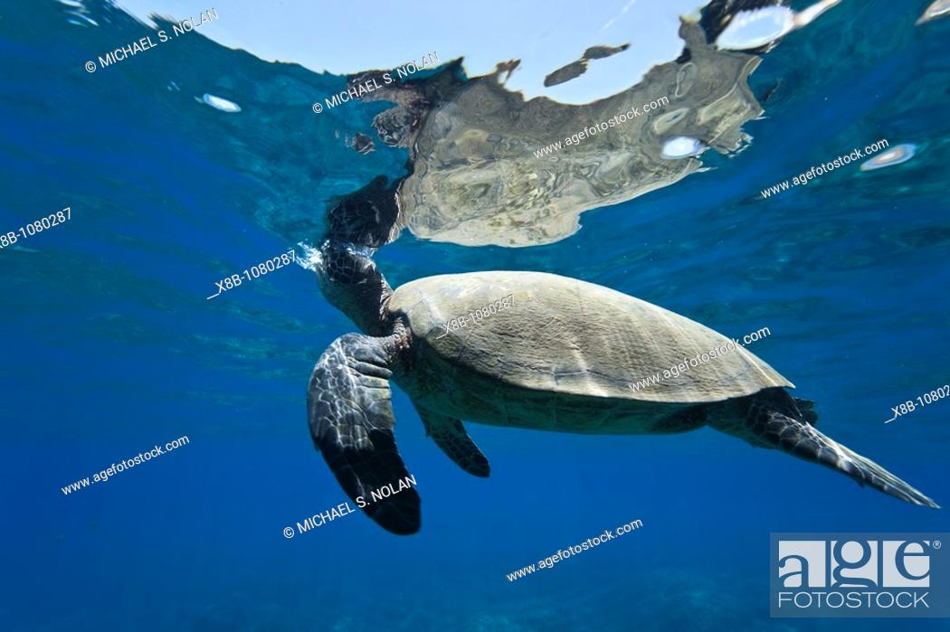 Stock Photo: Adult green sea turtle Chelonia mydas in the protected marine sanctuary at Honolua Bay on the northwest side of the island of Maui, Hawaii.