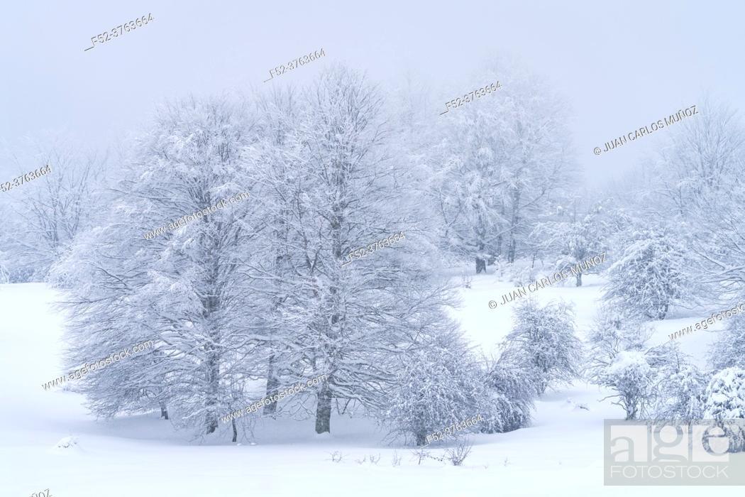Stock Photo: Snowy beech forest in winter in Puerto de Opakua, in the Sierra de Entzia Natural Park. Alava. Basque Country. Spain. Europe.