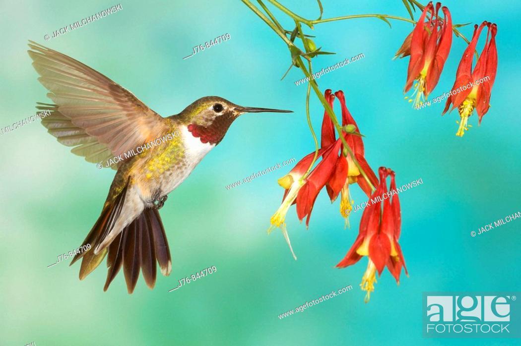 Stock Photo: Broad-tailed Hummingbird Selasphorus platycercus Male Autumn Sage Salvia greggii.