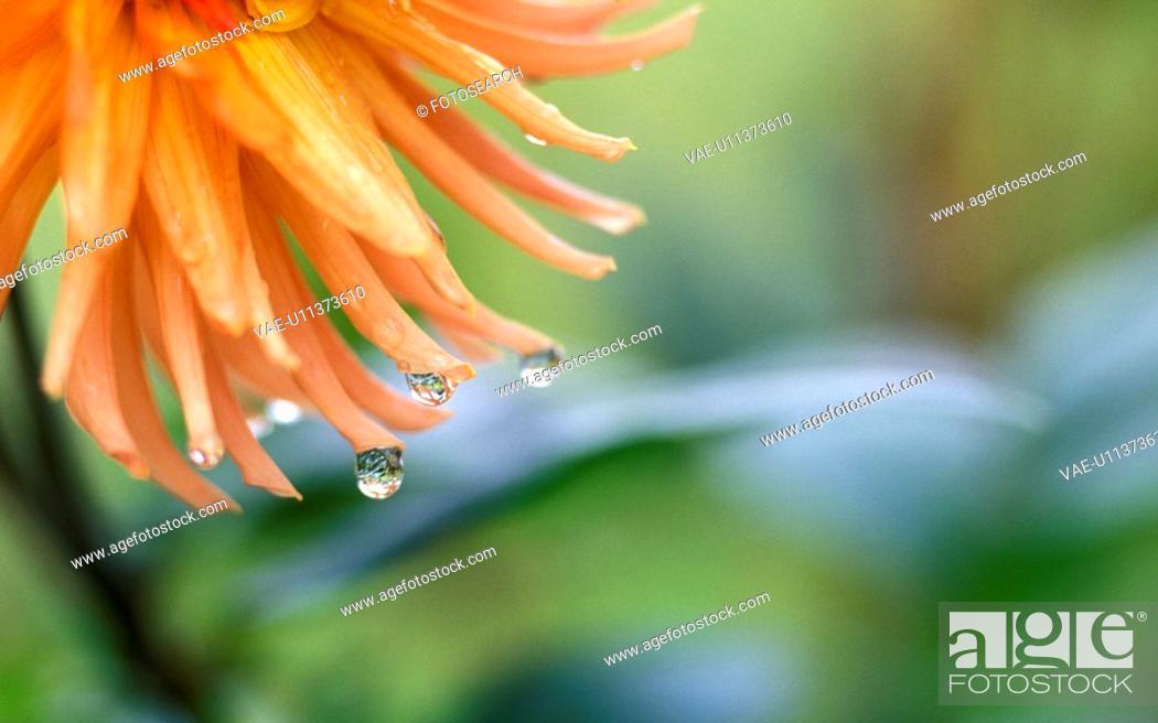 Stock Photo: dahlia, austria, calf, burgenland, autumn, damp, adverse weather.