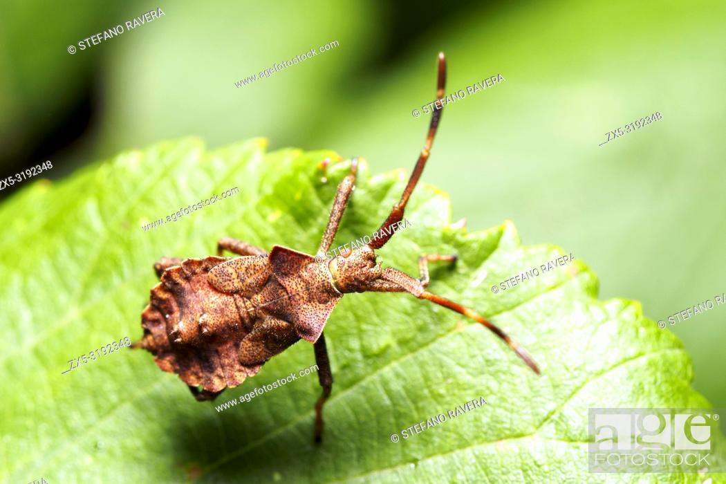 Imagen: Dorsal view of Dock Bug nymph (Coreus marginatus) - Italy.