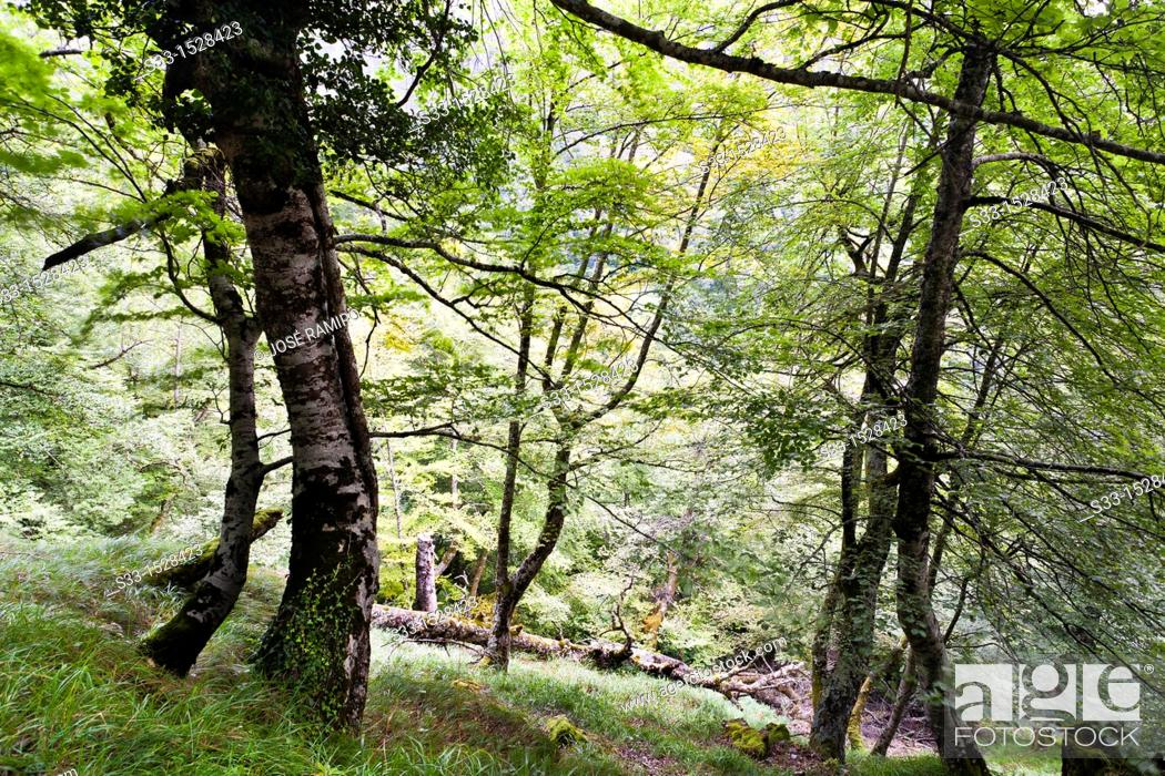 Stock Photo: Beech trees in Brez  Cordillera Cantábrica  Santander  Cantabria  Spain.
