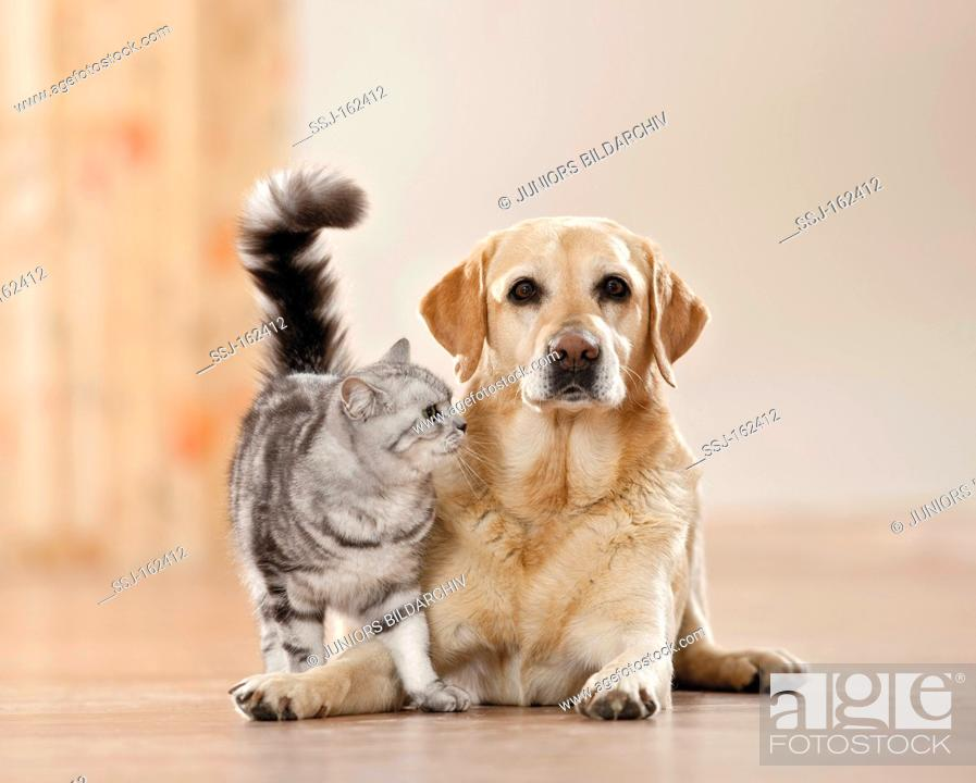 Animal Friendship British Shorthair Cat And Labrador Retriever Dog Stock Photo Picture And Rights Managed Image Pic Ssj 162412 Agefotostock