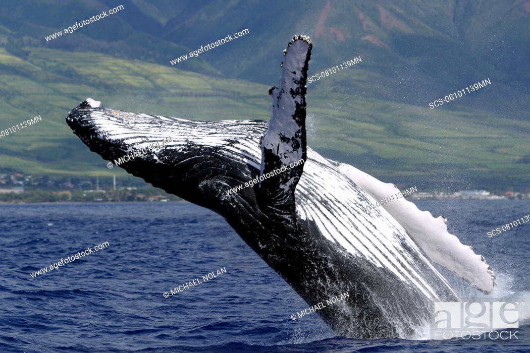 Stock Photo: Adult Humpback Whale Megaptera novaeangliae breaching in the AuAu Channel, Maui, Hawaii, USA.