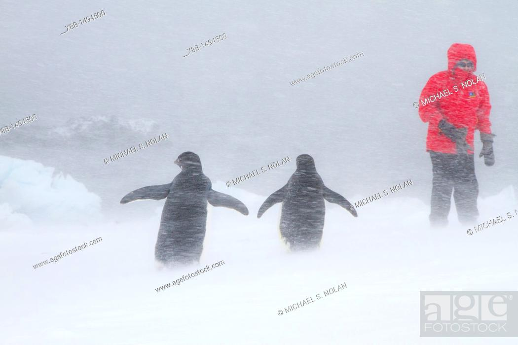 Stock Photo: Adélie penguin Pygoscelis adeliae with Lindblad guests in snowstorm at Brown Bluff on the Antarctic Peninsula in the Weddell Sea.
