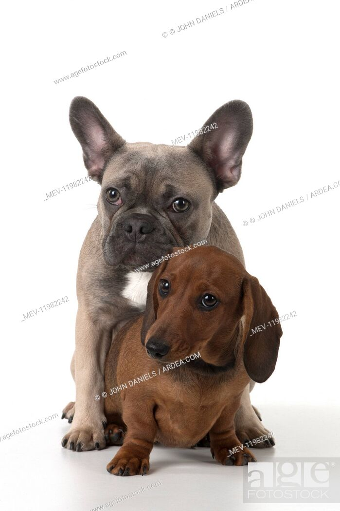 Imagen: DOG. French Bulldog with Miniature Dachshund.
