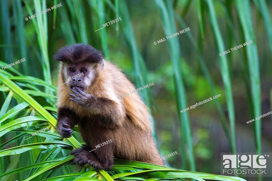 Stock Photo: Tufted capuchin (Cebus apella), also known as brown capuchin, black-capped capuchin in a palm tree, Mato Grosso do Sul, Brazil.