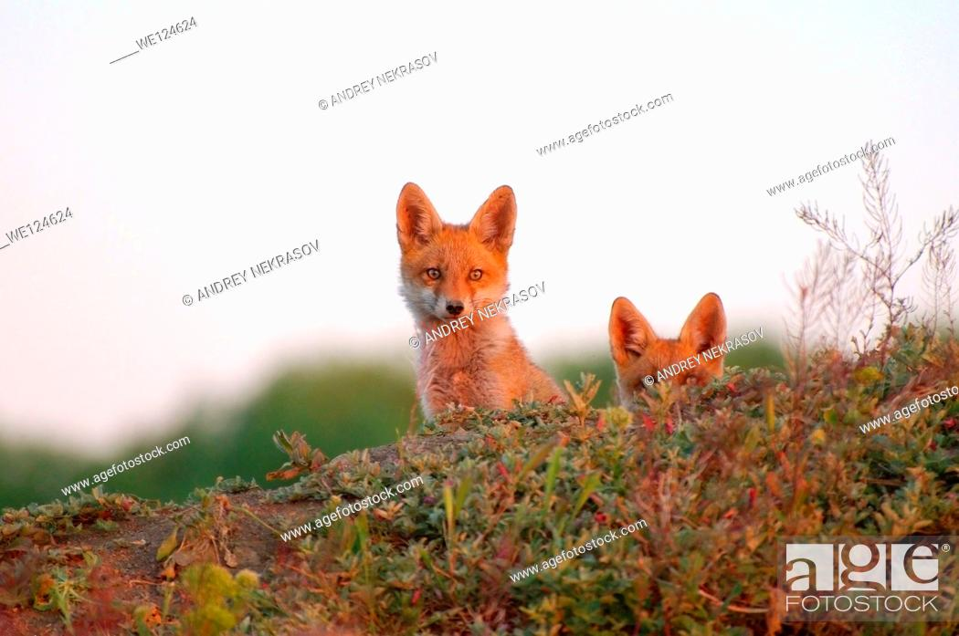 Stock Photo: Red fox (Vulpes vulpes), young, Yermakov island, Ukraine, Eastern Europe.