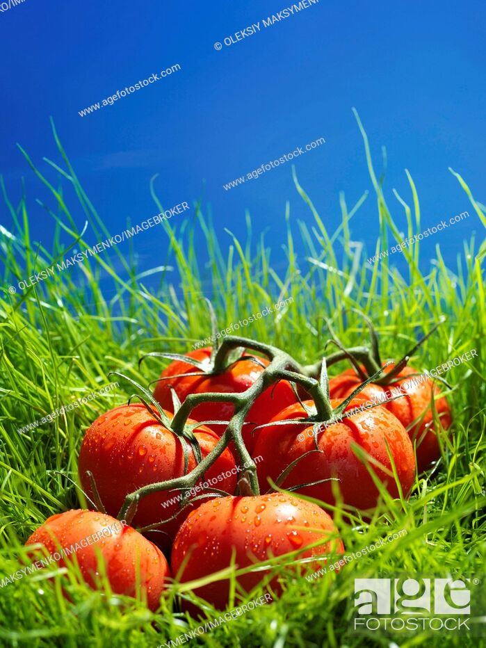 Stock Photo: Vine-ripened tomatoes in green grass under blue sky.