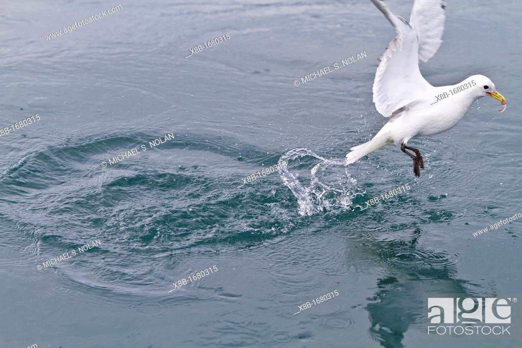 Stock Photo: Adult black-legged kittiwake Rissa tridactyla plunge-diving for small invertebrates near Alexander Island in Franz Josef Land, Russia, Arctic Ocean.